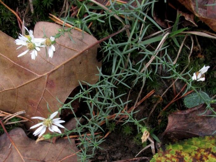 whitefloweredplantSoldiersDelightOwingsMillsMD14Oct2017