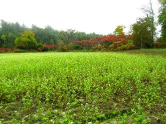 cover crop of buckwheat where corn and pumpkins are grown in summer, Windsor, Vermont, Oct. 2016