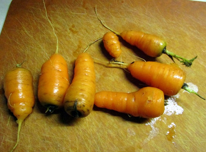 carrotsharvest10March2016