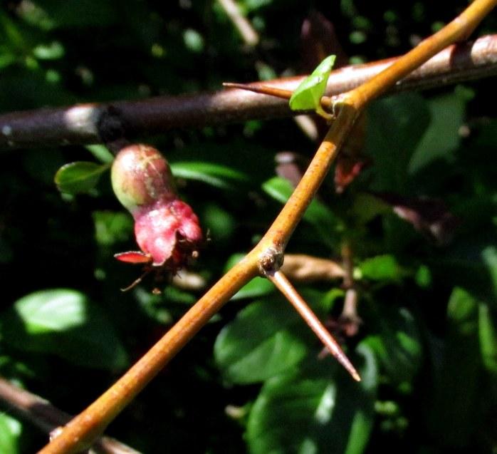 floweringquincethornfruitbudSunapeeRiverTrailNH24June2017