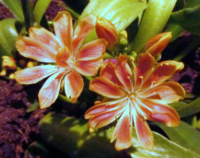 orangeflowersLewisaCotyledonHeimlichNurseriesdisplayflowershowBostonMA14March2018