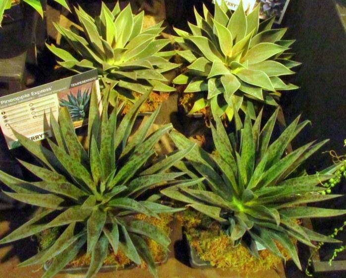 PineappleExpresssucculentsflowershowBostonMA14March2018