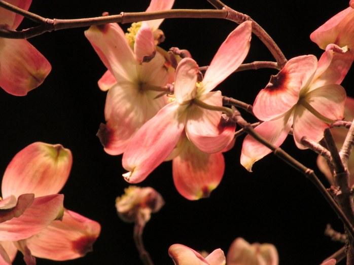 pinkdogwoodtreeflowersMiskovskyHaskelldisplayflowershowBostonMA14March2018