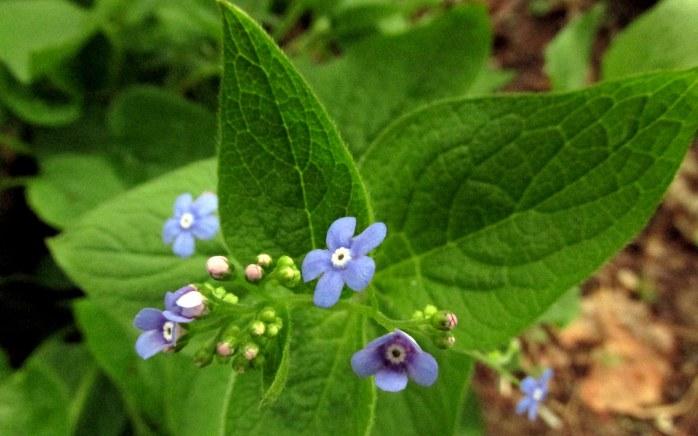 bluebrunneraflowers15May2018