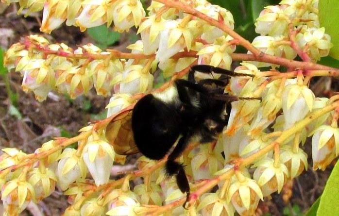 bumblebeeundersidepierisJaponicaflowersfrontbed13May2016.jpg