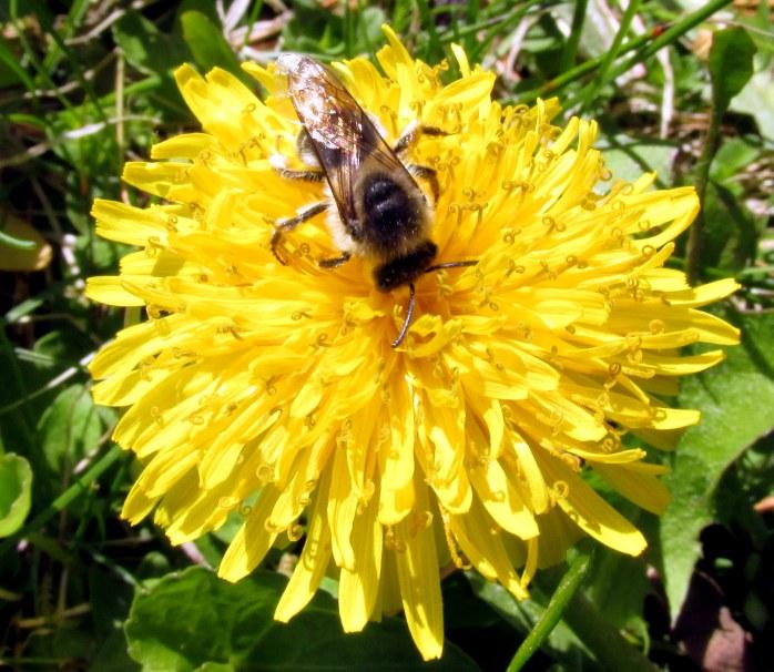 dandelionflowerpollinatorbee13May2018