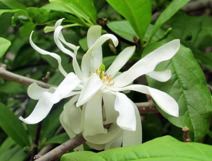 MagnoliaStellataflowernearlibraryBoston11May2015