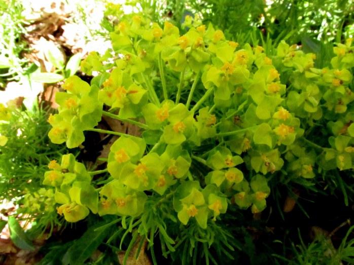 maybeeuphorbiaflowerclusterMillMountainRoanokeVA29April2018