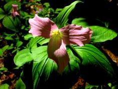 pinktrilliumflowerPetitPondBedrockGardensNH20May2017