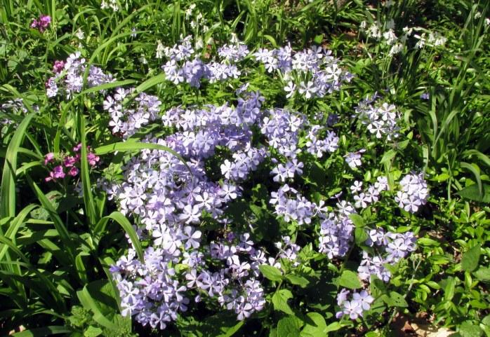 purpleflowersPhloxStoloniferaMillMountainRoanokeVA29April2018.JPG