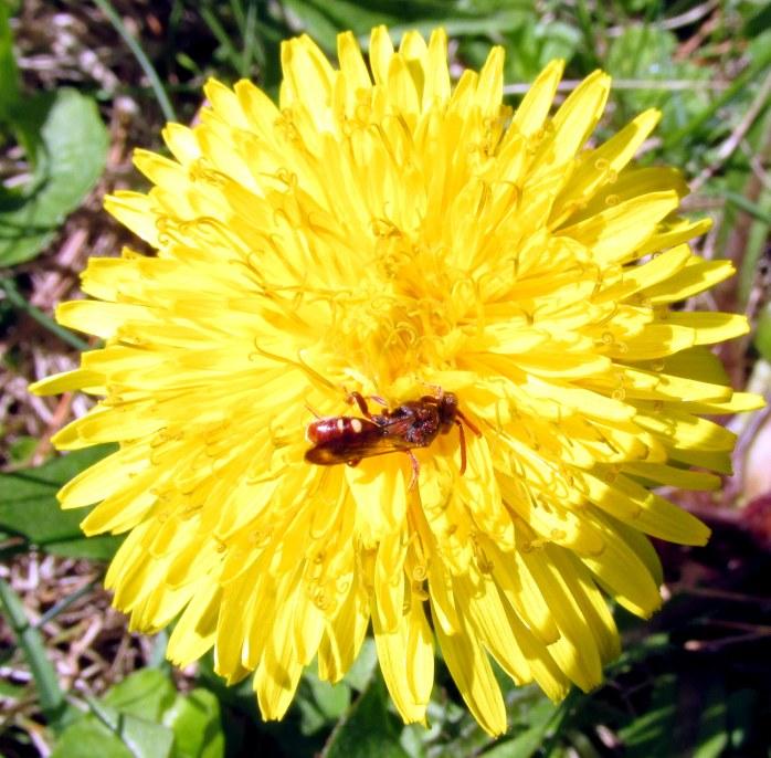 smallredpollinatordandelionflower13May2018