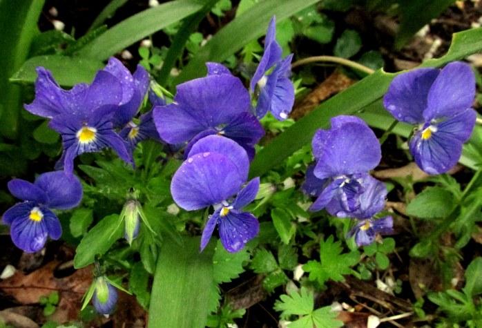violets30May2017