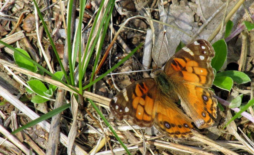 AmericanLadybutterflySPNHFConcordNH19May2019