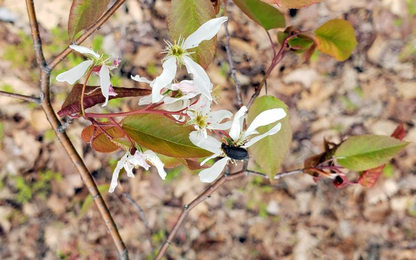 beetleserviceberryflowersartsyNRTAndover16May2019