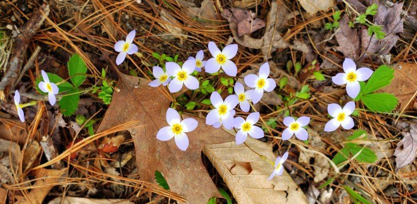 bluetsflowersNRTAndover16May2019