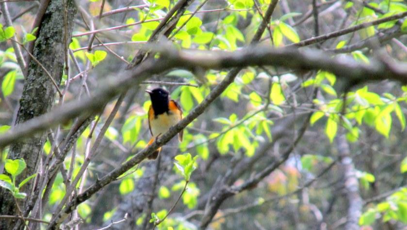 blurAmericanRedstartbirdchestSPNHFConcordNH19May2019