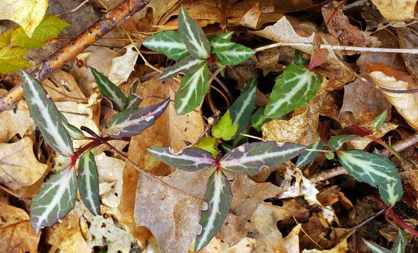 ChimaphilaMaculataspottedwintergreenbNRTAndover16May2019