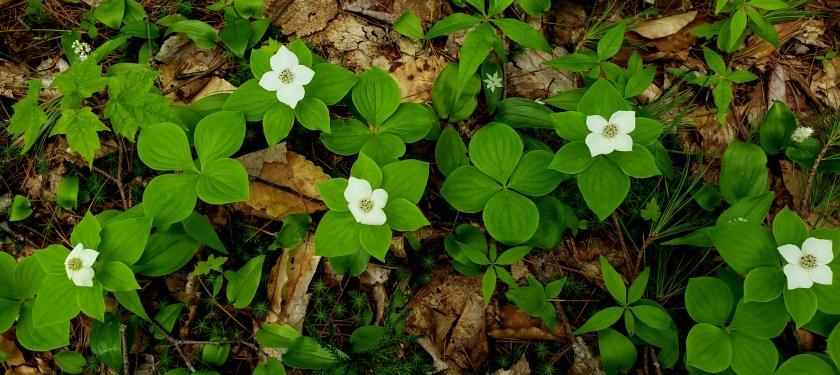 fivebunchberryflowersstarflowerCanadamayflowerwoodlandCPT5June2019