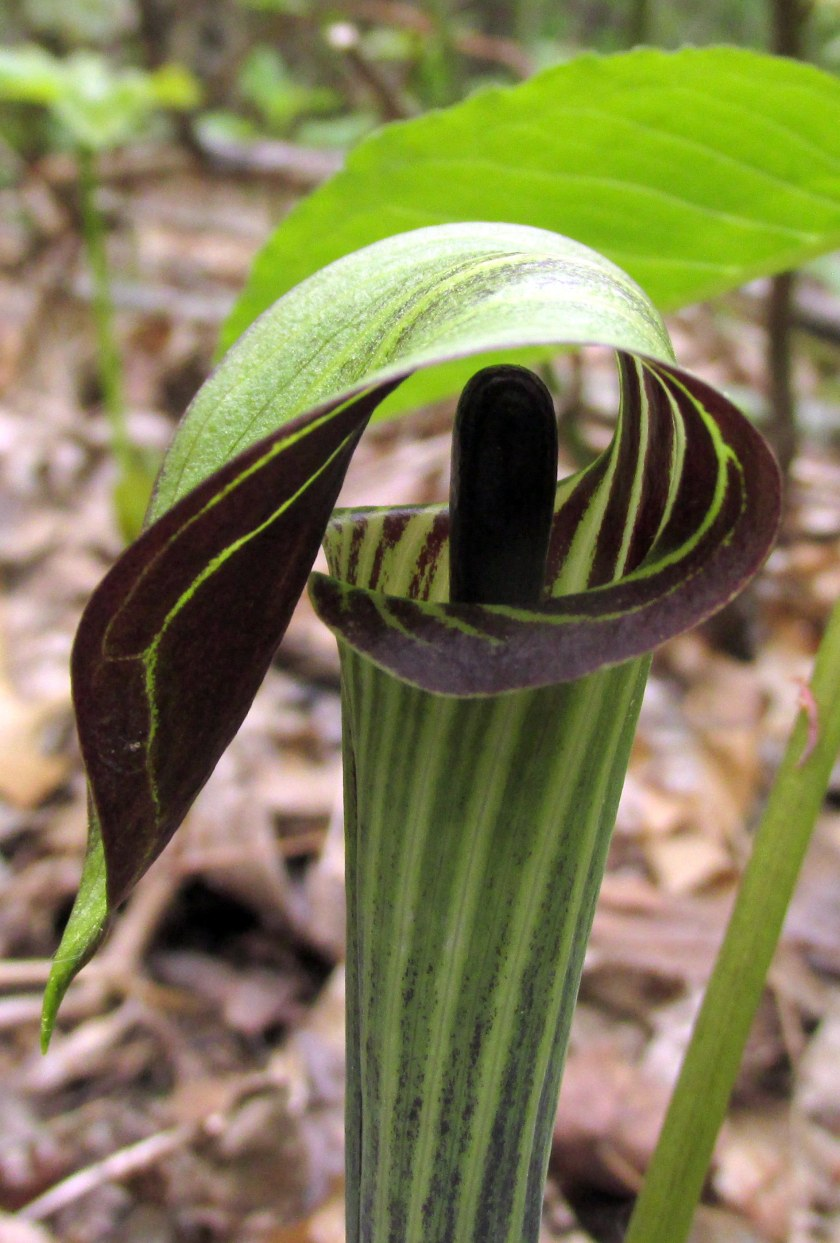 JackinthePulpitclosestripedSPNHFConcordNH19May2019