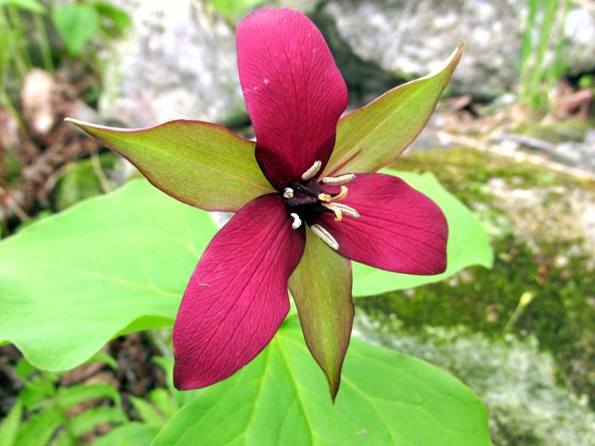 redtrilliumflowerleavesfernbKezarLakeSuttonNH20May2019