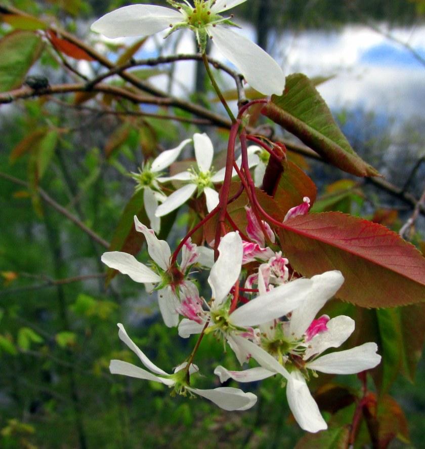 serviceberryflowersNRTAndover16May2019
