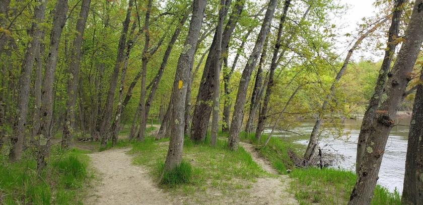 treesleaningalongsideMerrimackRiverSPNHFConcordNH19May2019