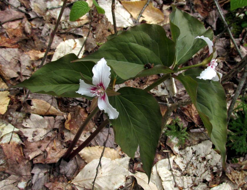 twindualstempaintedtrilliumsCPT17May2019