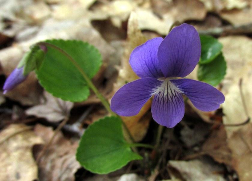 violetNRTAndover16May2019