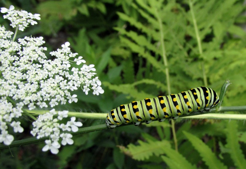 blackswallowtailcaterpillarQueenAnnesLacefruigguild6Aug2019