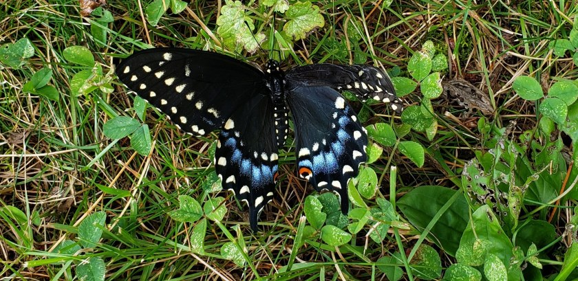 dyingblackswallowtailbutterflywingsdidntdryproperlylawn19Aug2019