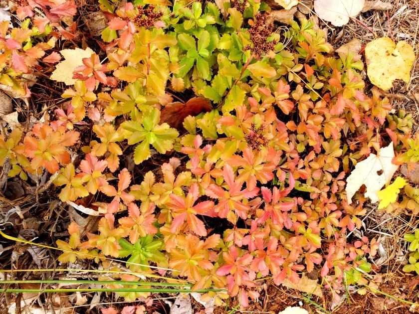 Spiritsedumfallcolourpinkyellow16Oct2019