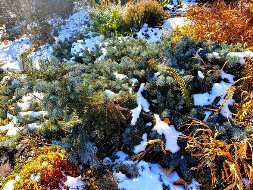 bluesprucesunlightheathergrasscolourFellsNewburyNH16Nov2019