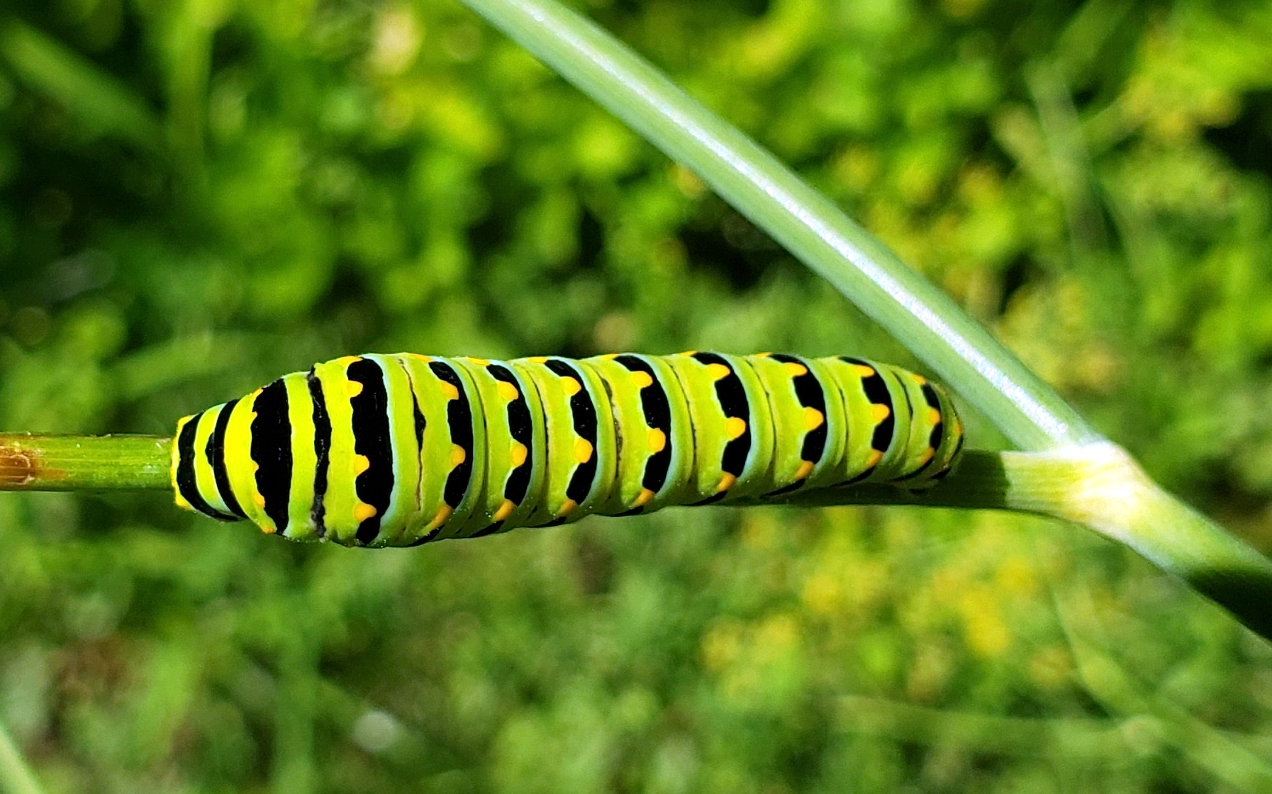 blackswallowtailbutterflycaterpillarfennelfruitguild18Aug2020