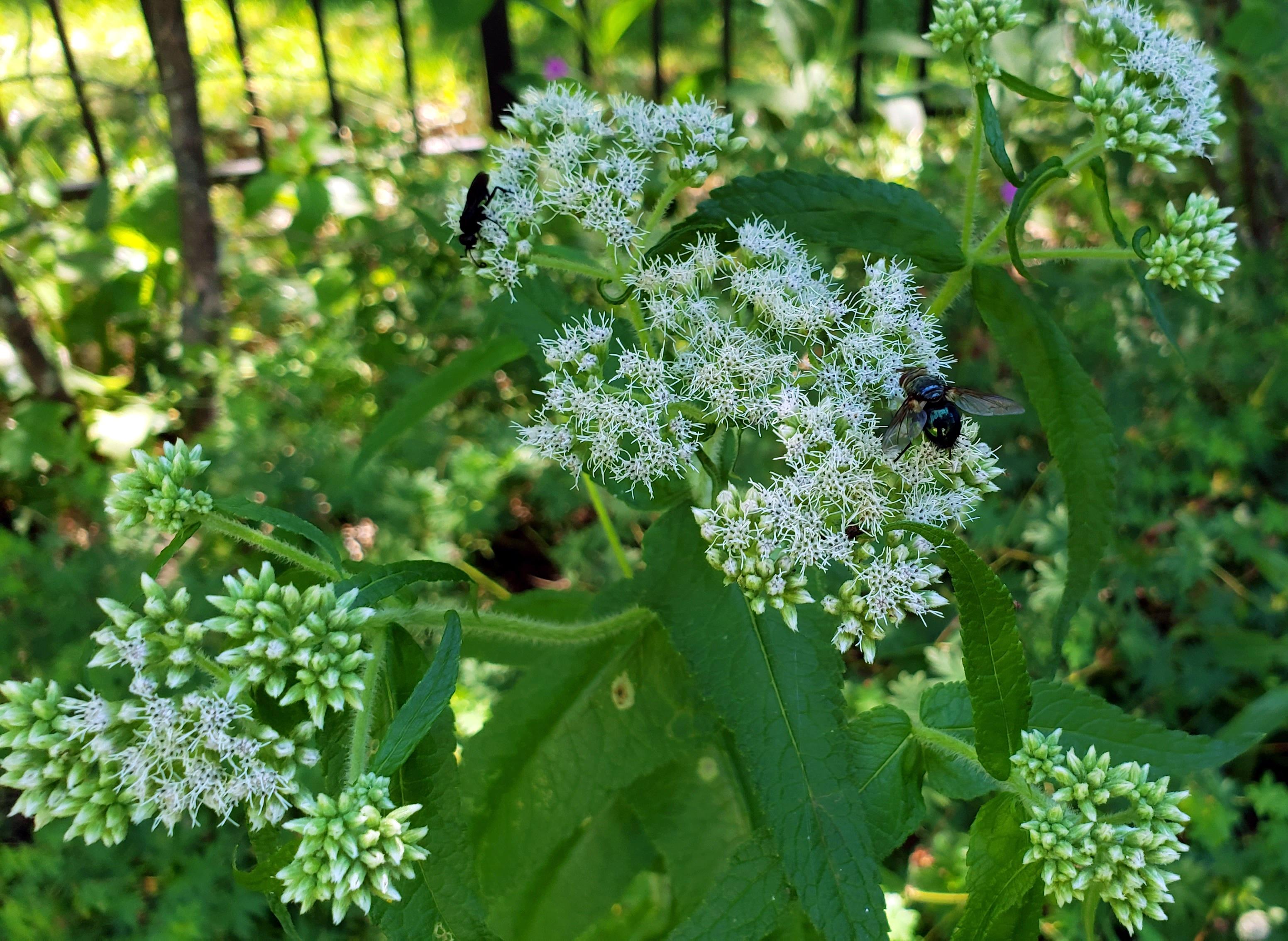 bonesetflowersflybeetleinsects29July2020