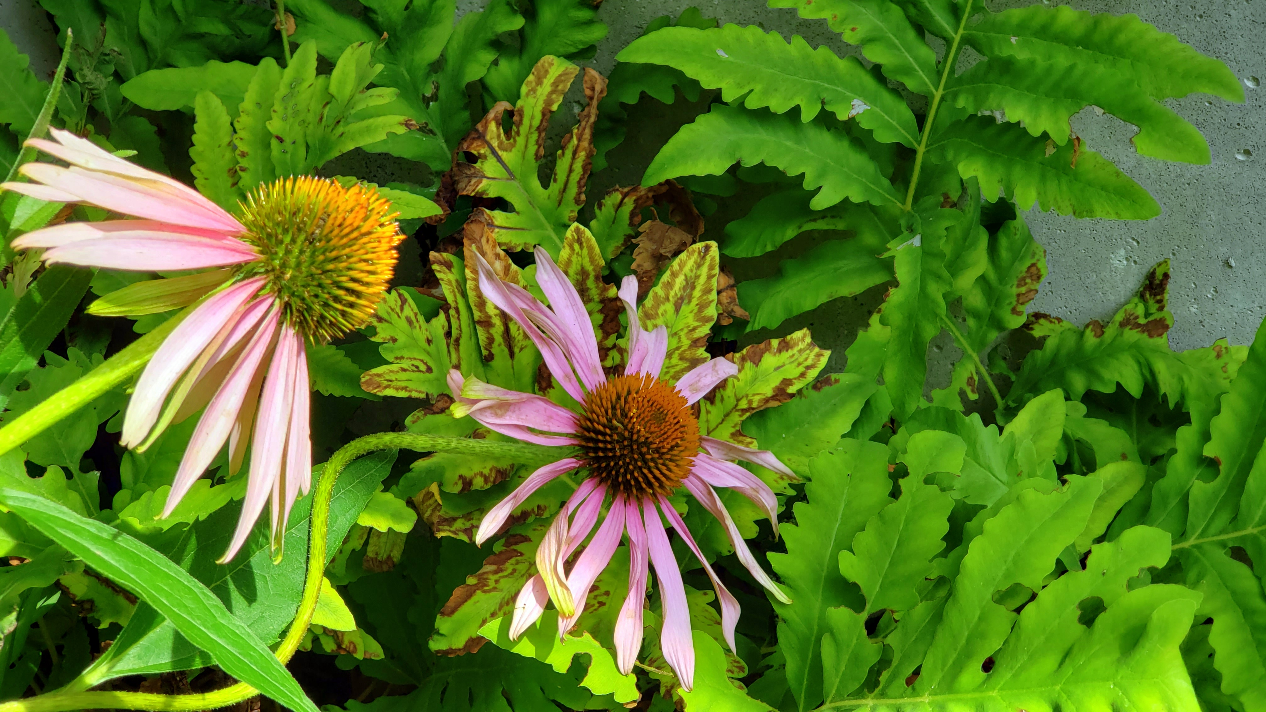 echinaceaflowersensitivefernfruitguild11Aug2020