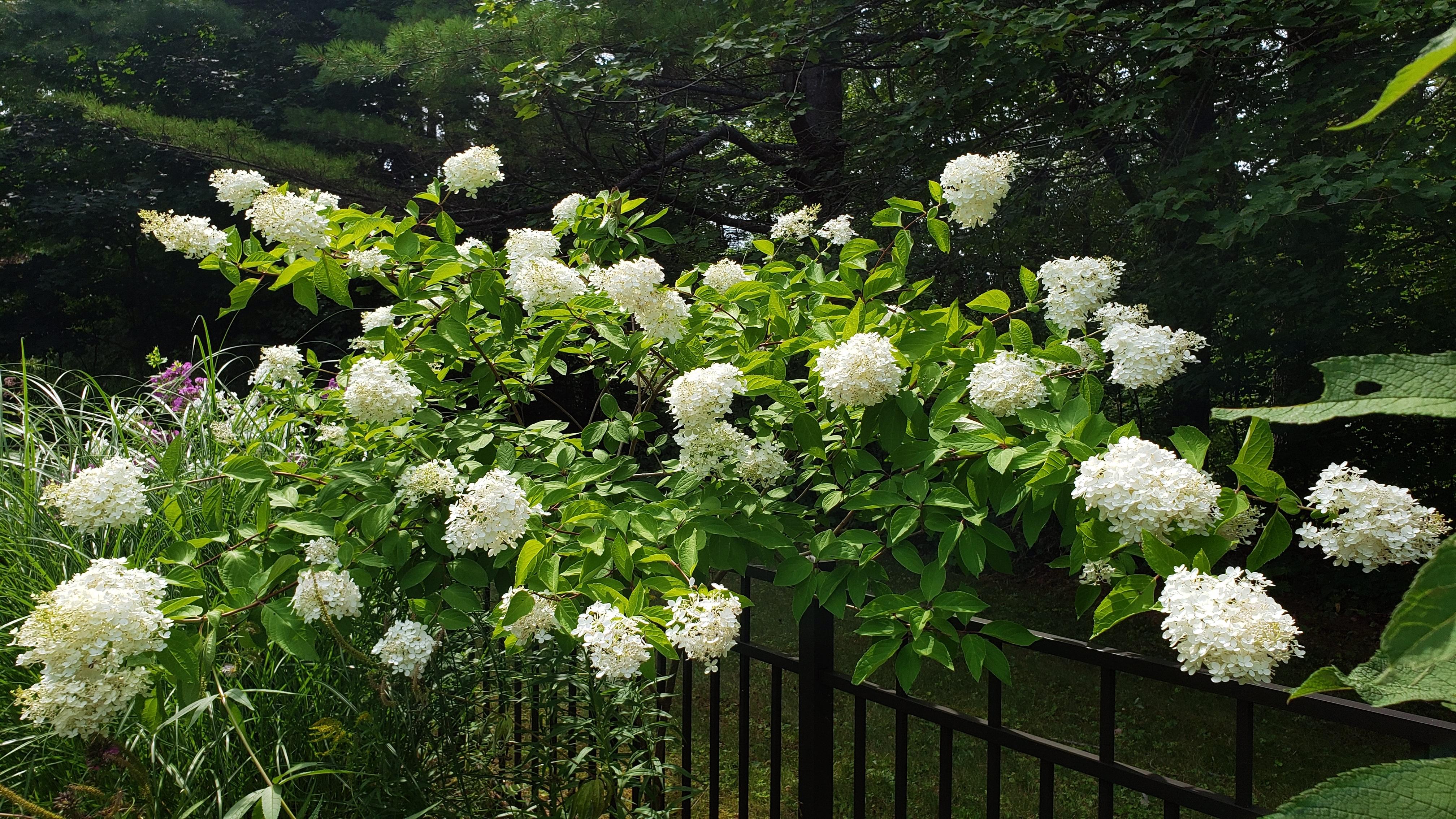 floweringwhitePGhydrangeabackborder11Aug2020