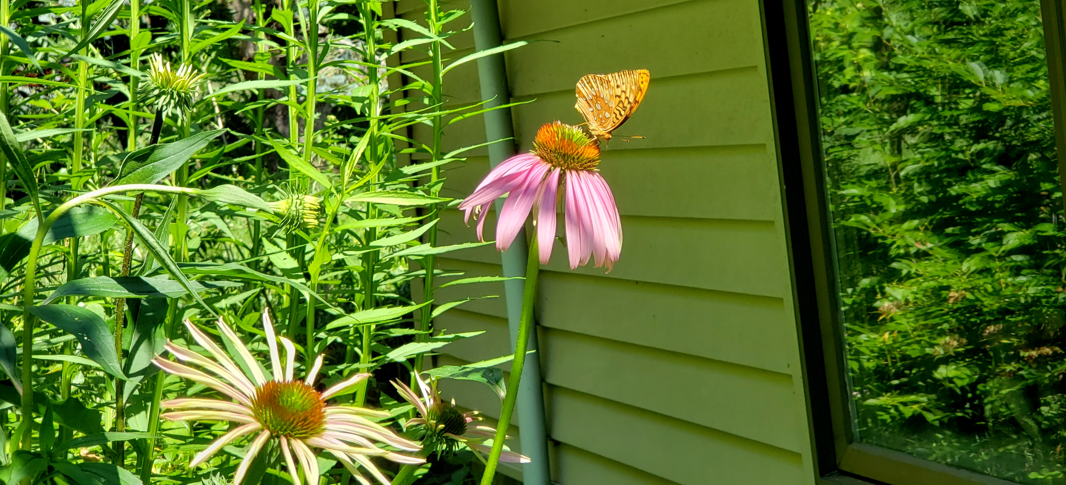 fritillarybutterflyechinaceaflowersunglowreflectionfruitguild19July2020