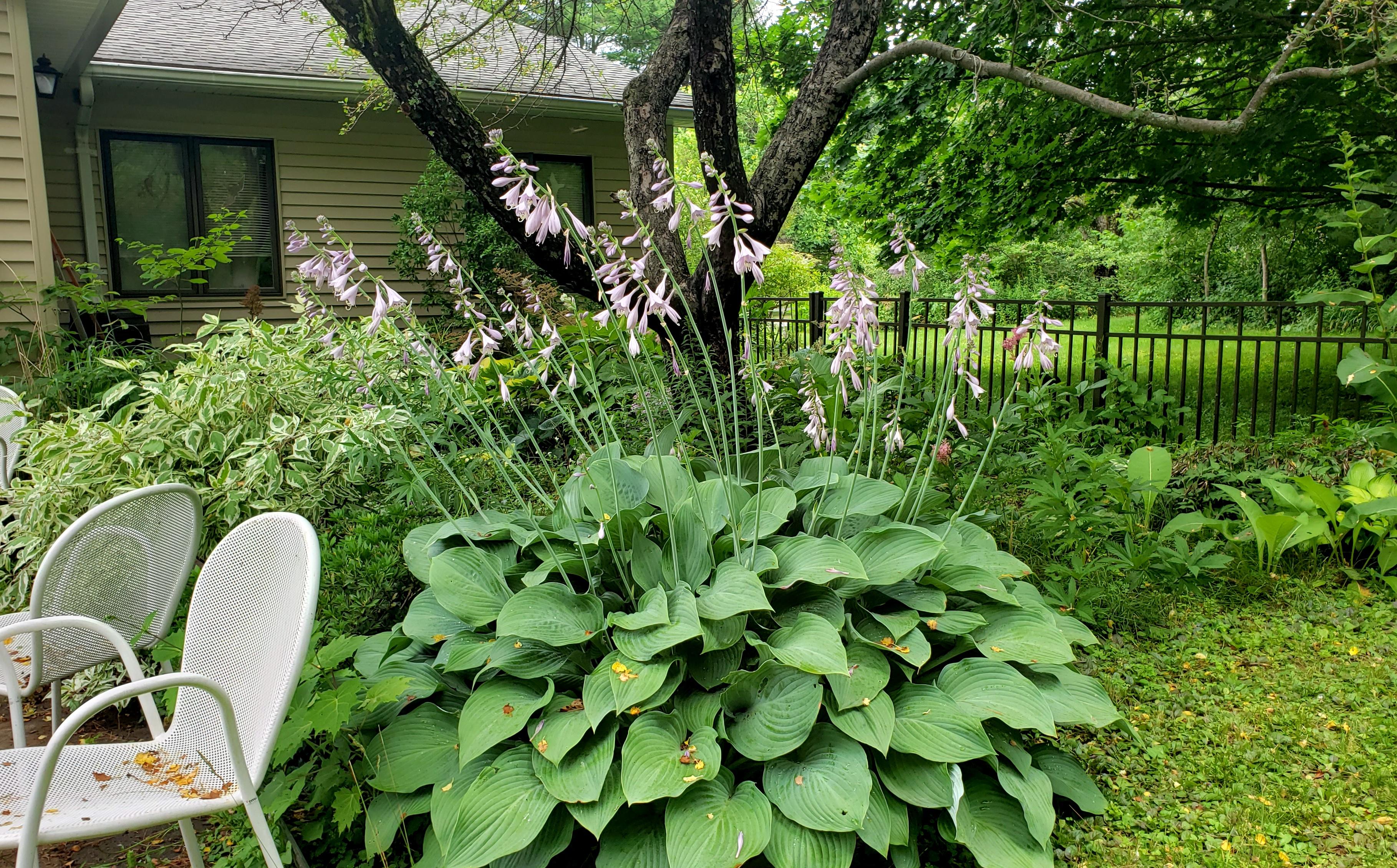 gianthostafloweringpatiochairsshadegarden23July2020
