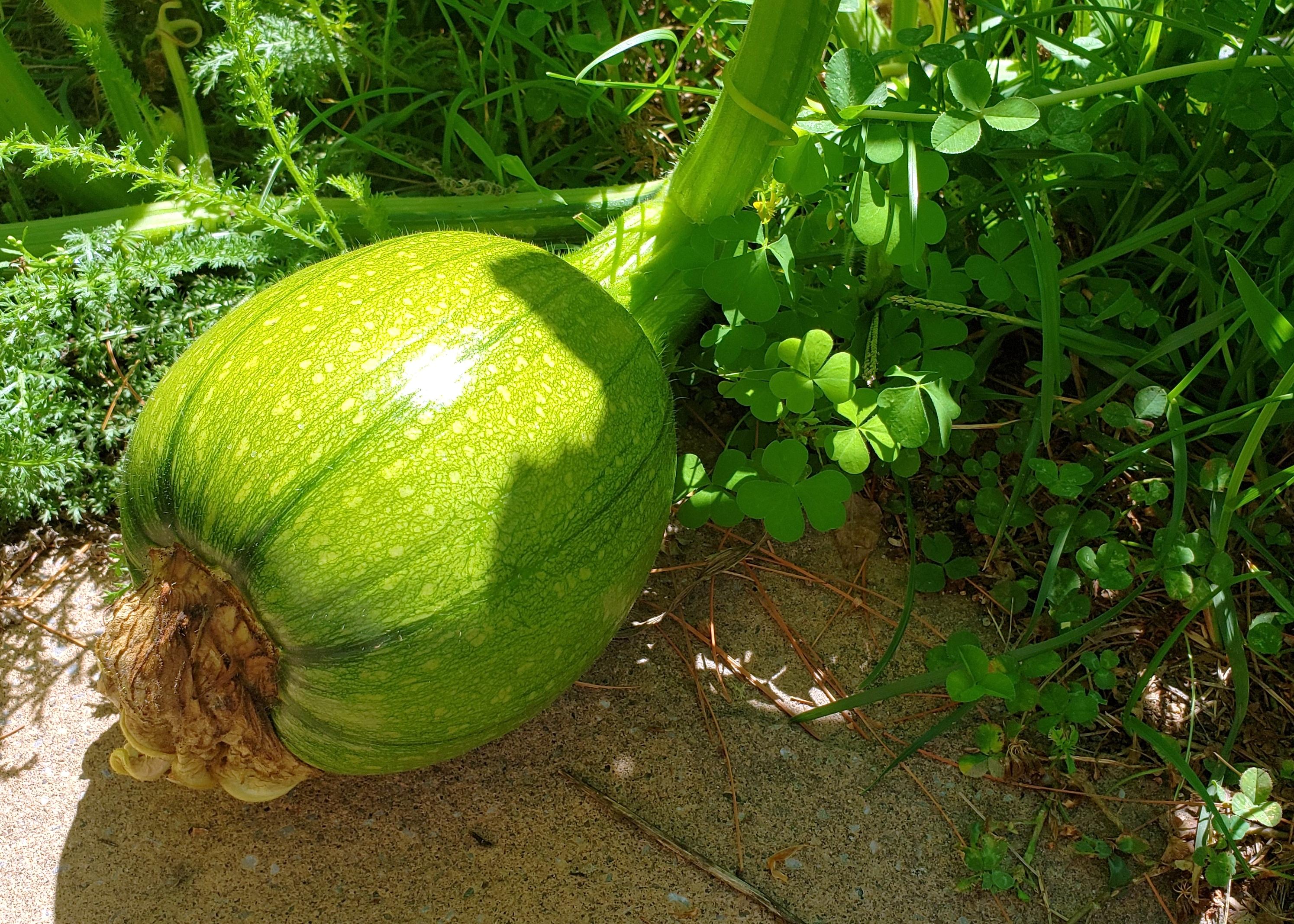 giantvolunteersquashfruit18Aug2020