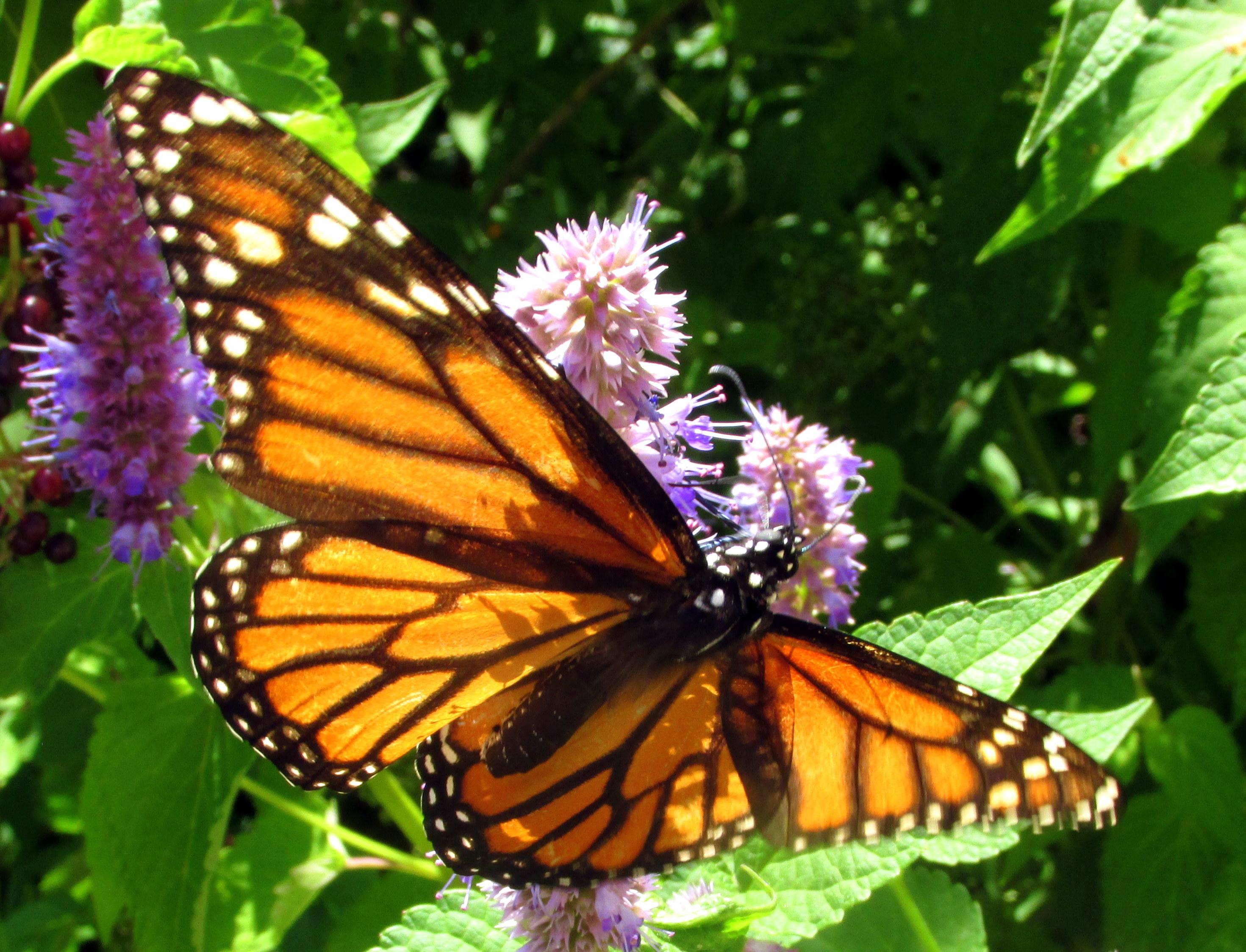 monarchbutterflyanisehyssopwingsopenblurb12Aug2020