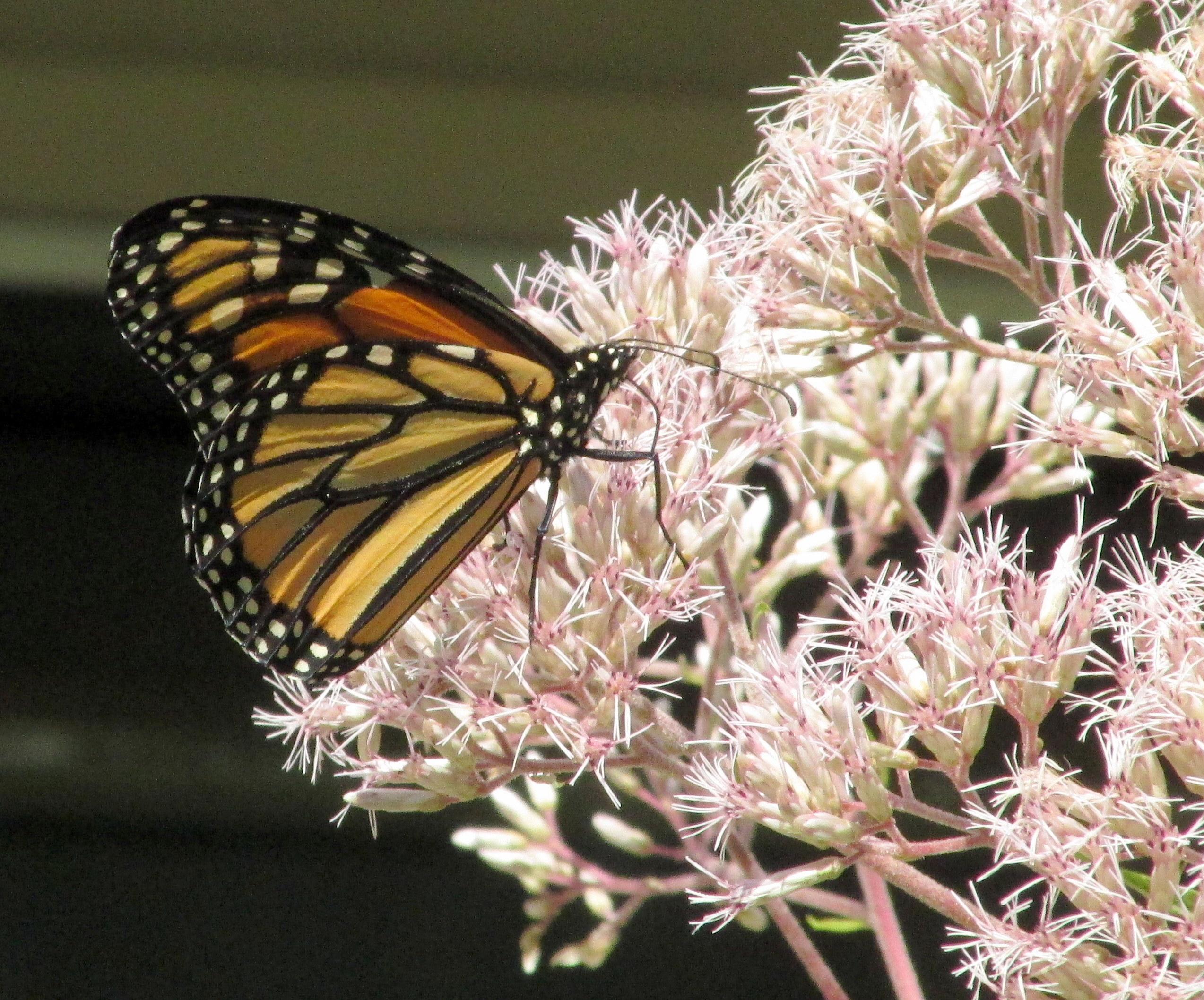 monarchbutterflyJoePyeweed12Aug2020