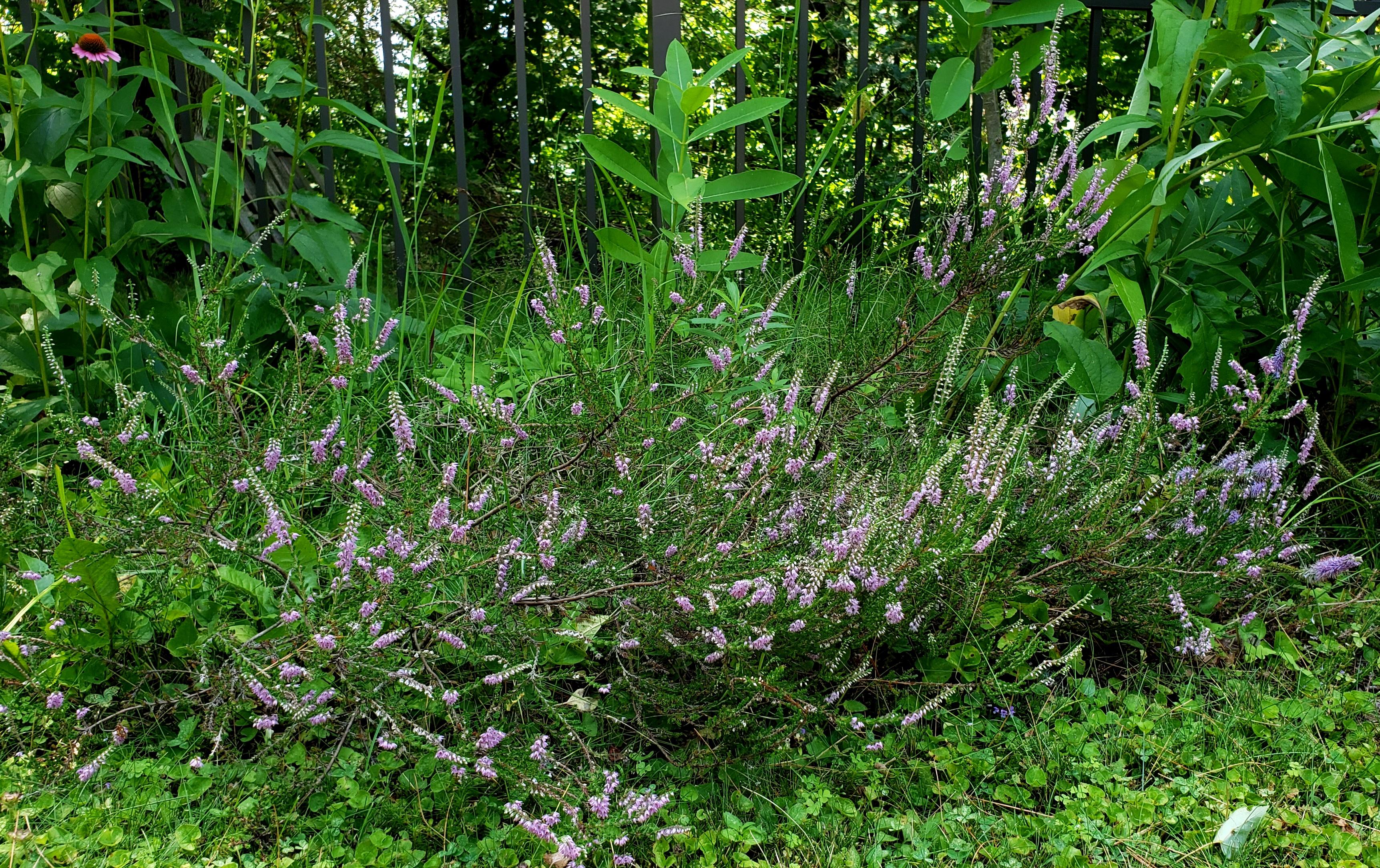 purpleheatherflowersmilkweedbackborder5Aug2020