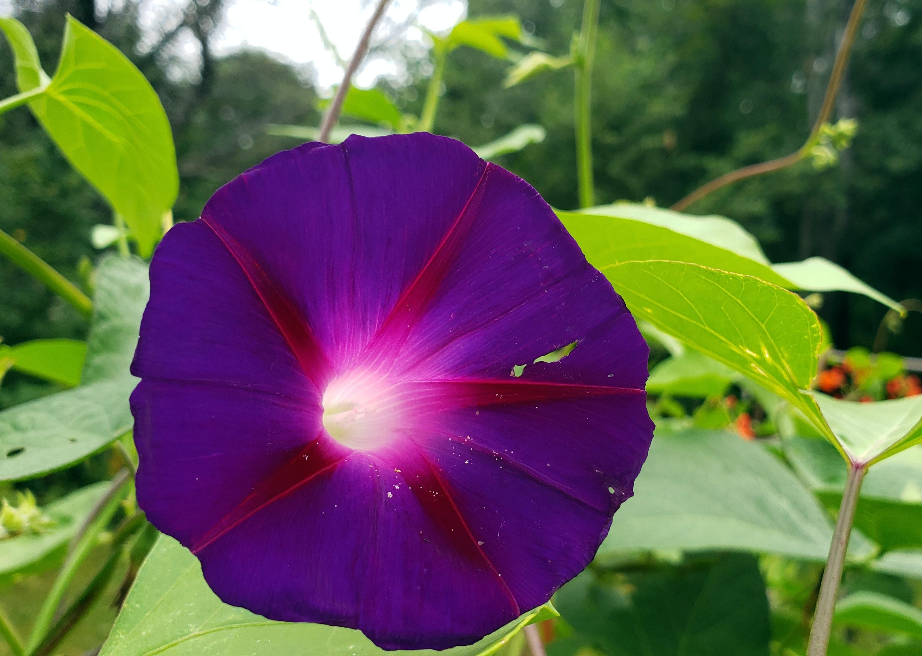 purpleredmorninggloryflower16Aug2020