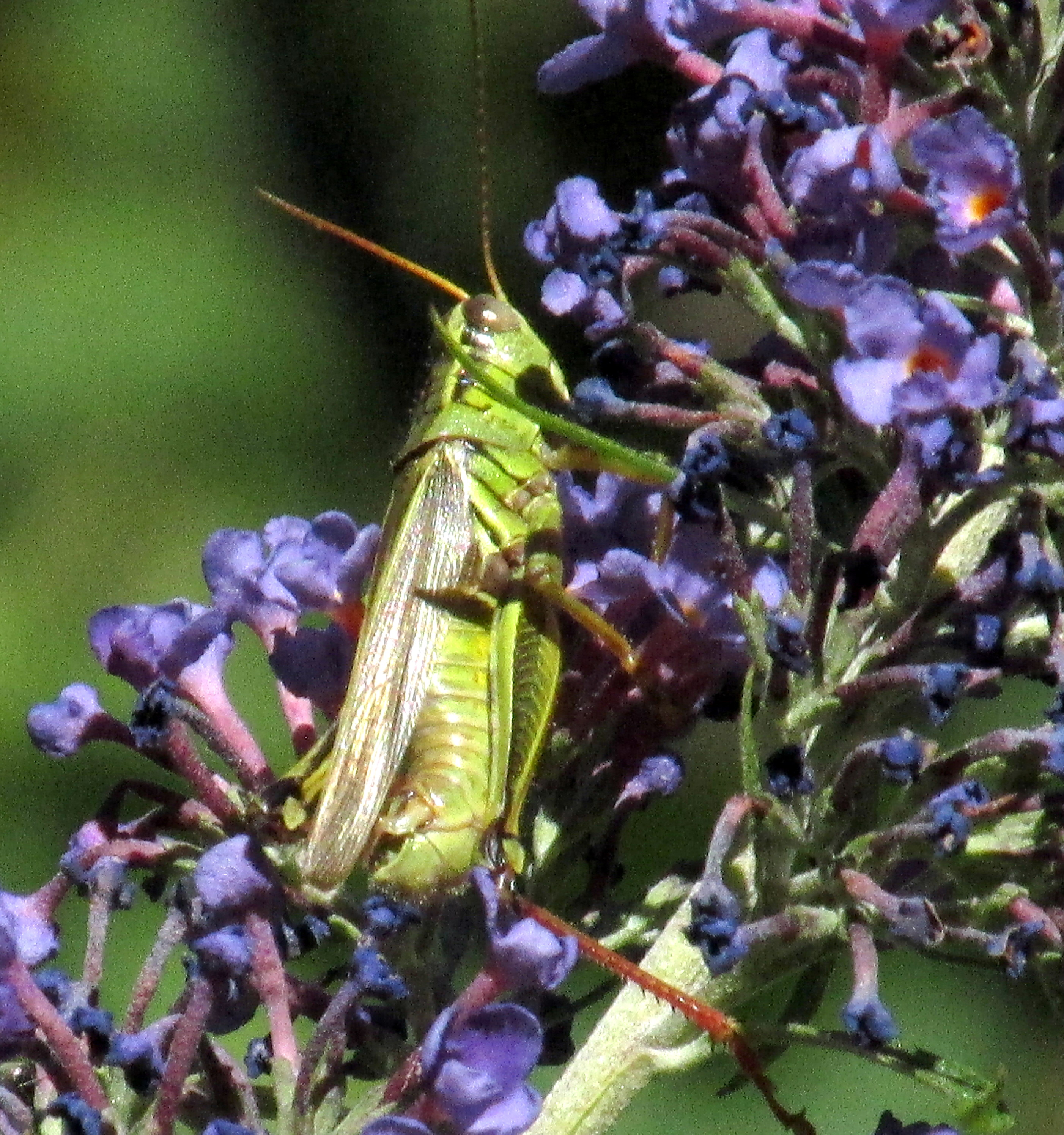 redfemuredgrasshopperbutterflybushflower6Aug2020