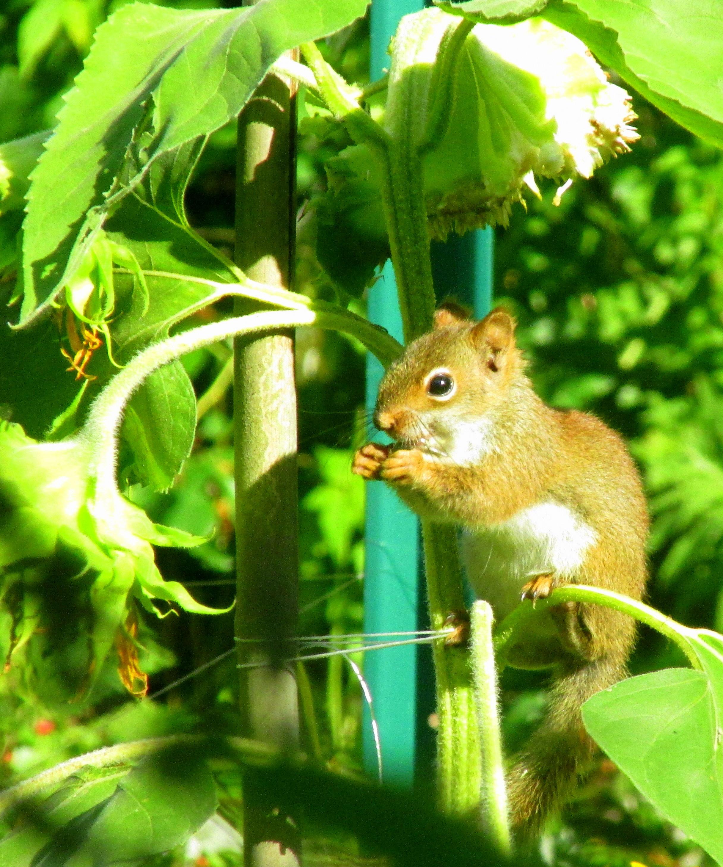 redsquirrelposingeatingsunflower7Aug2020