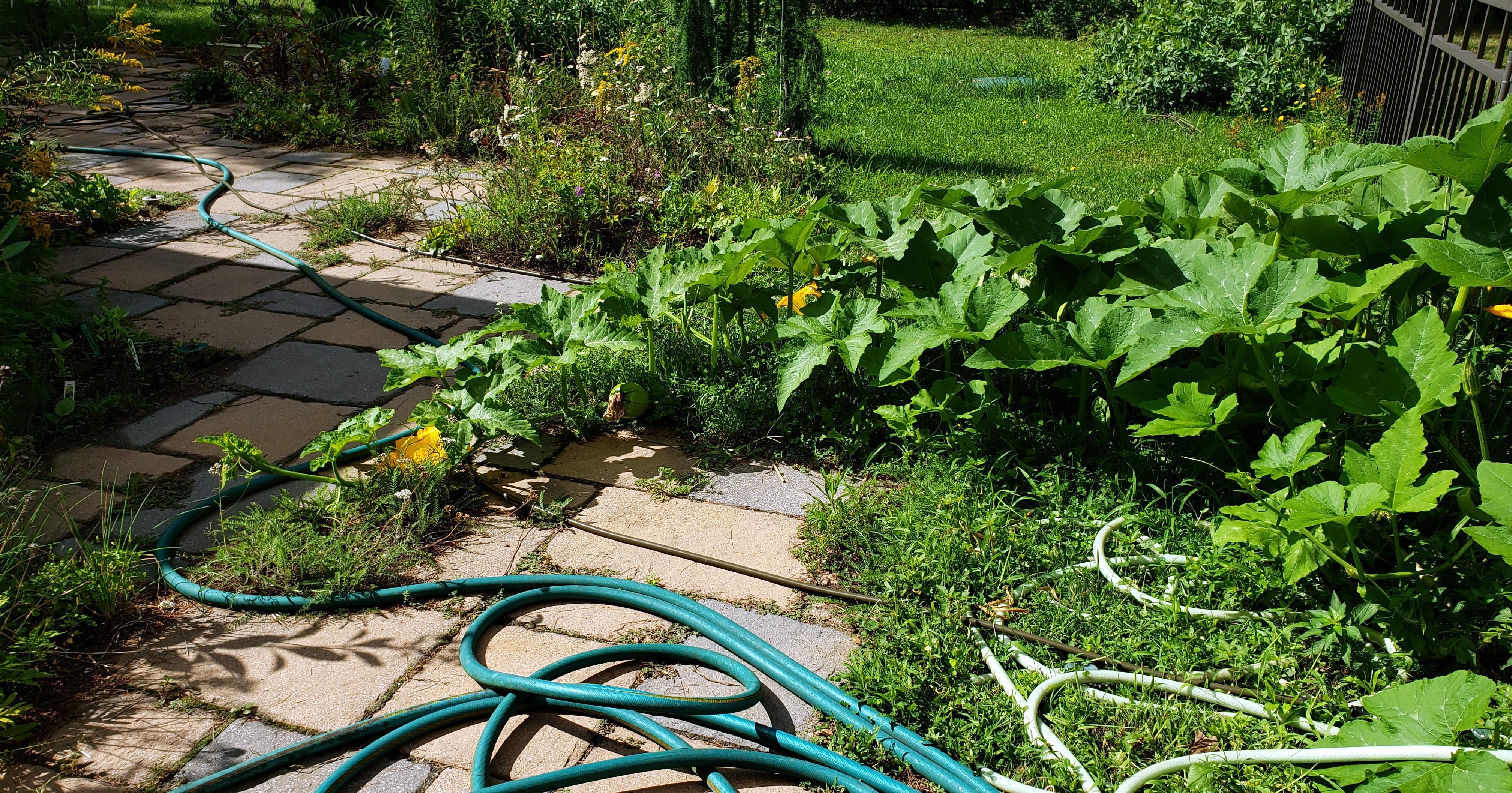 scarysquashplantfromcompostpatiocrawling18Aug2020