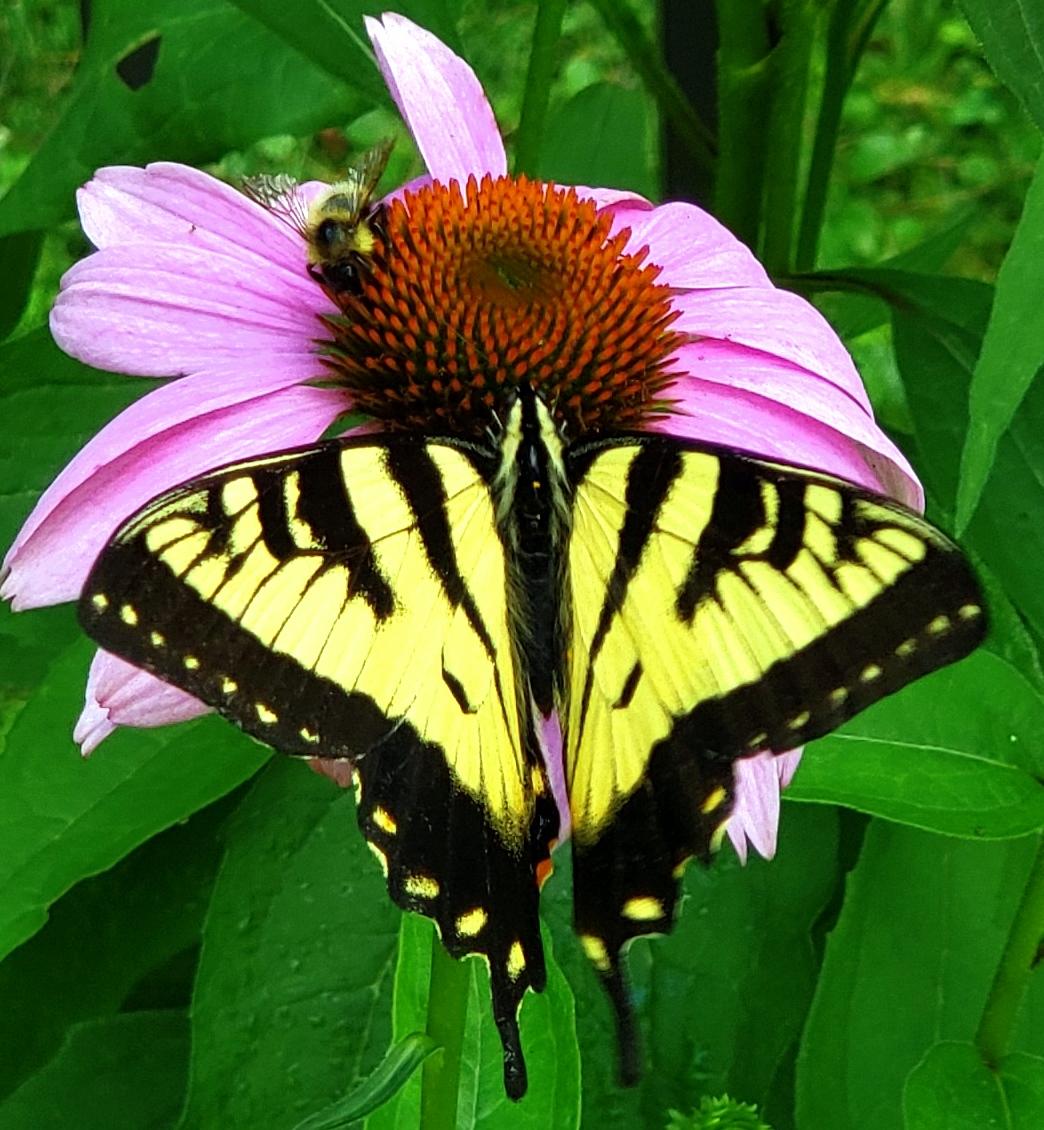 swallowtailbutterflybumblebeeechinacea26July2020