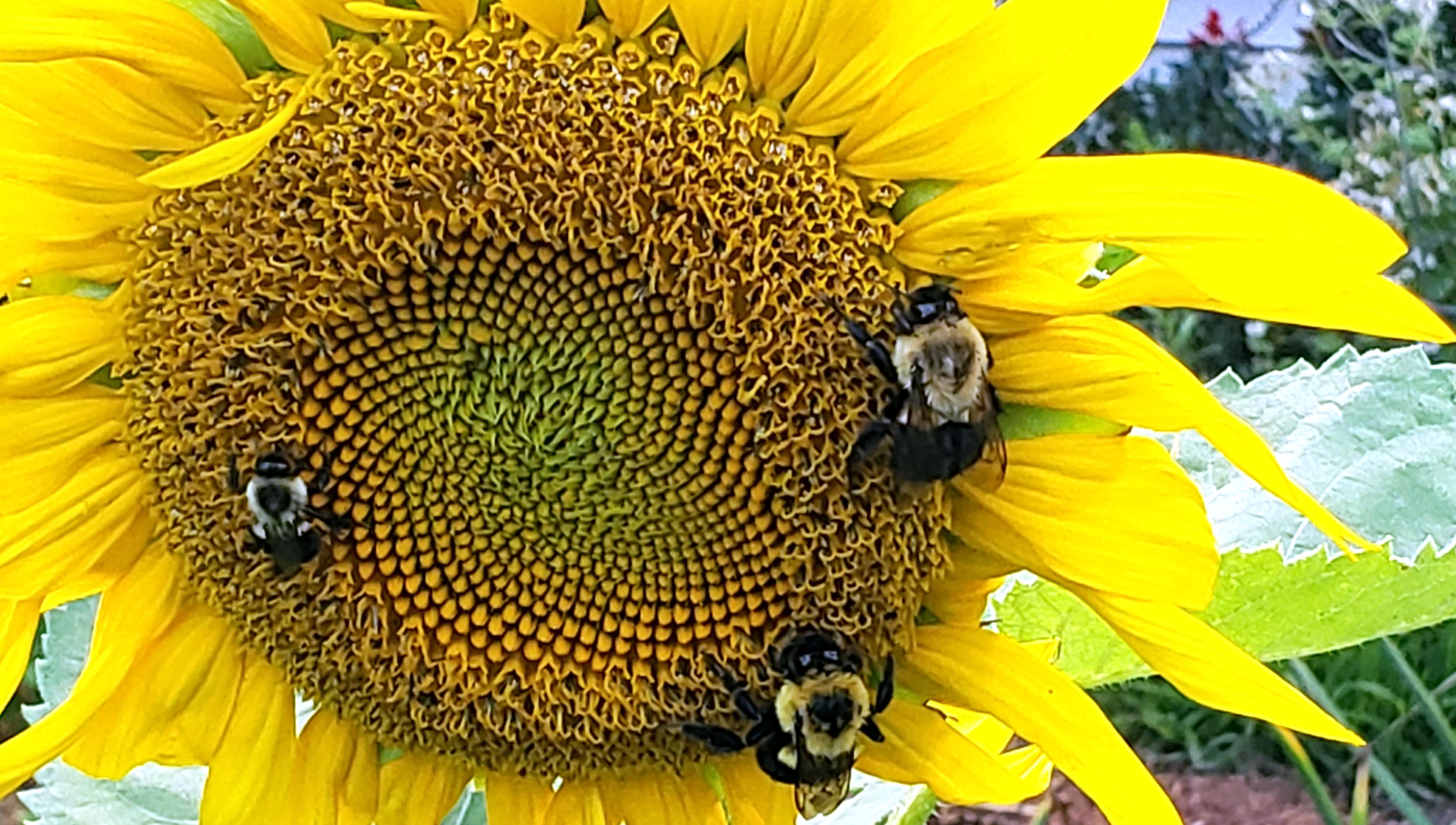 threebumblebeessunflower25July2020