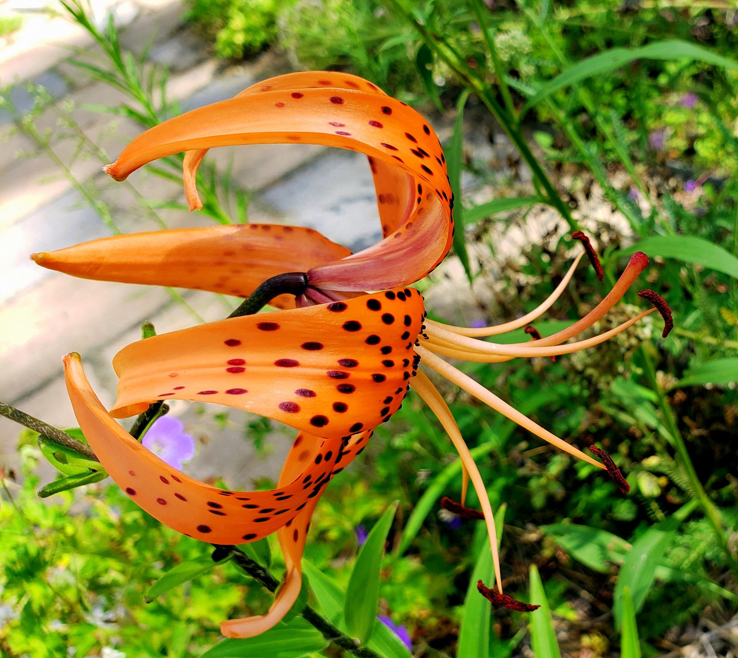 turkscaplilyflowersideways3Aug2020