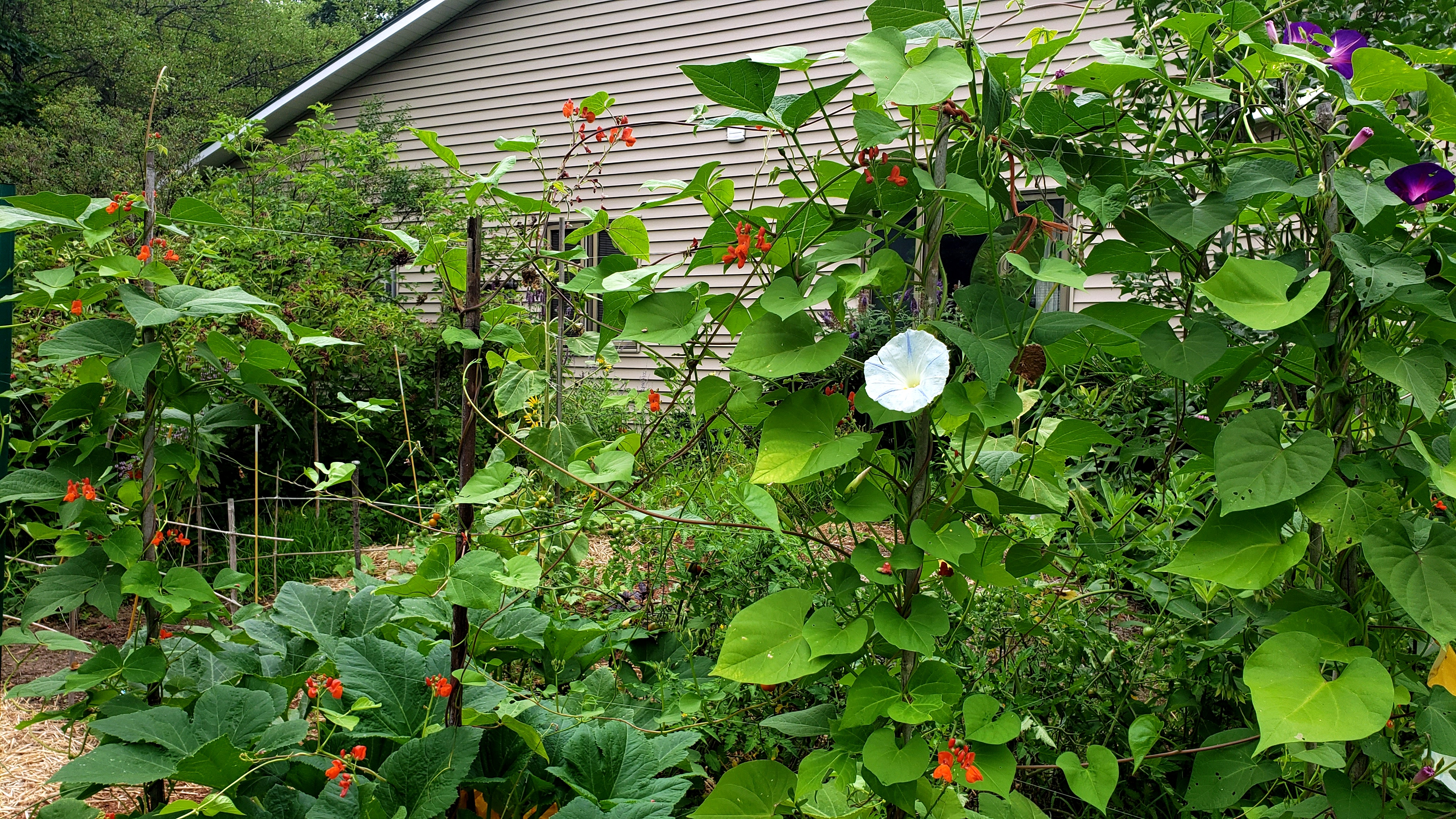 veggardenvinesmorninggloriesscarletrunnerbeansflowers16Aug2020